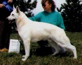 super Frozen Semen   UKC Grand CH / IABCA CH Tumbledowns Super Sonic (USA)