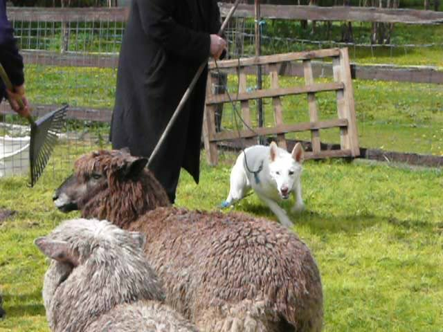 Elli Gives Herding a Go