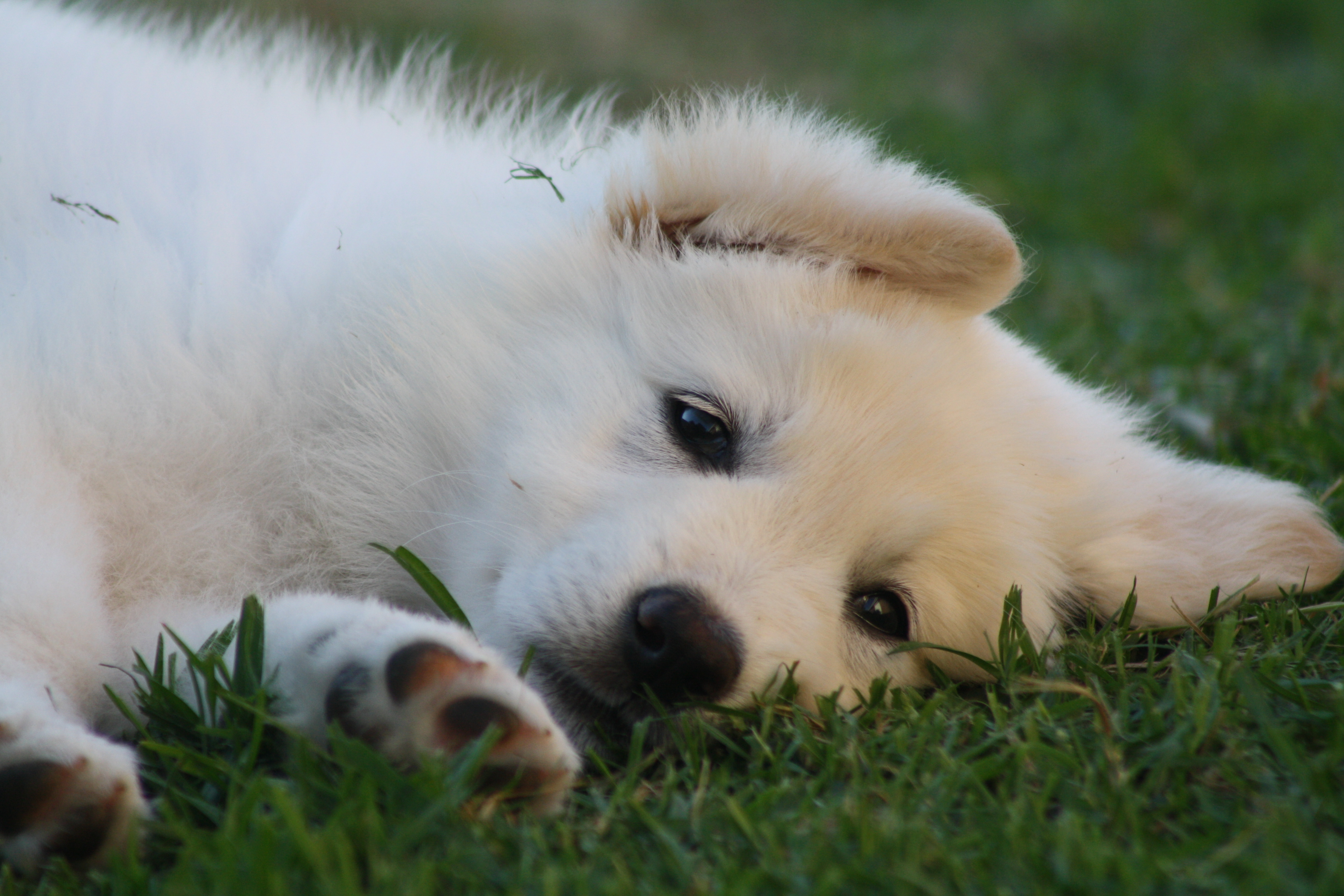 Australian Pure Bred Dog Forums Dogz Online White Shepherd Owners